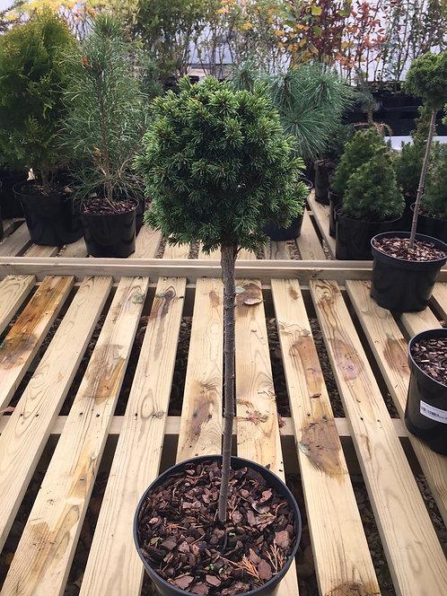 Picea glauca Alberta Globe (top worked) 3L