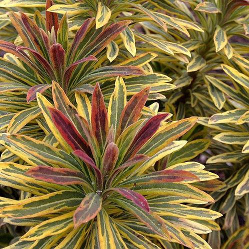 Euphorbia Ascot Rainbow 3L
