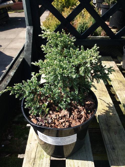 Juniperus squamata Holga
