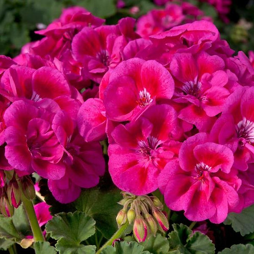Geranium Fantasia Deep Rose Splash 14cm