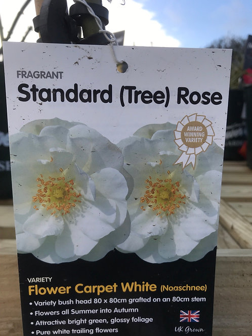 Rose Standard (Tree) ' Flower Carpet White '