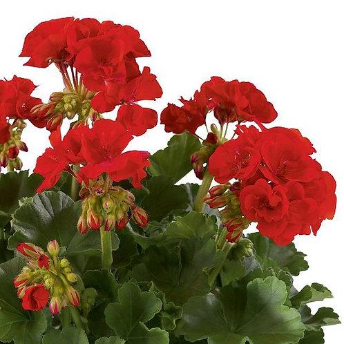 Geranium Designer Dark Red 14cm