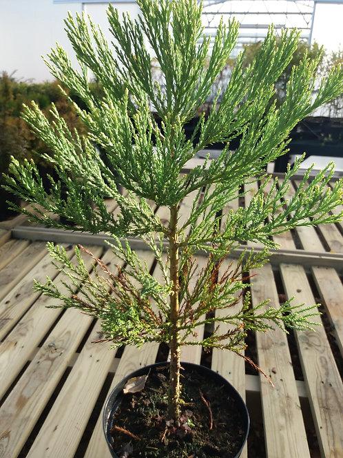 Sequoiadendron giganteum 3L