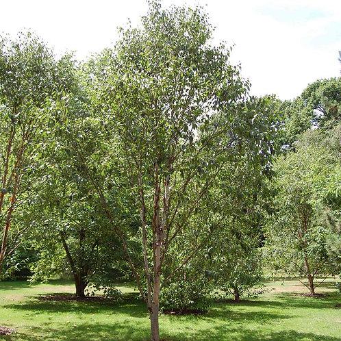 Acer palmatum Cascade 10L