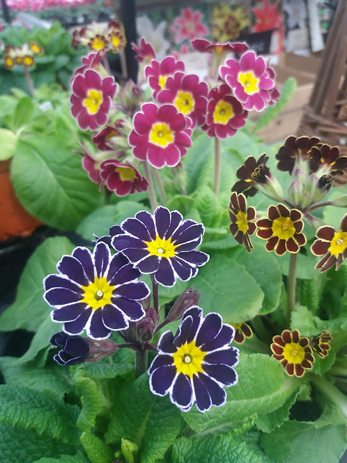 Polyanthus Lace- 3 for £5