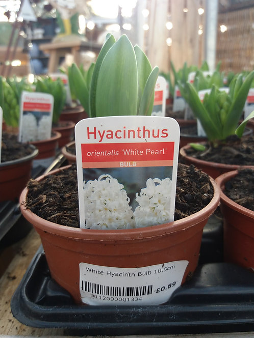 Potted Hyacinth White 10.5cm
