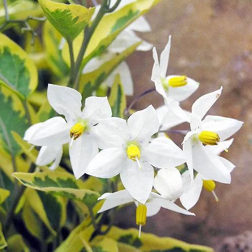Solanum jasminiodes Aureovariegatum 3L