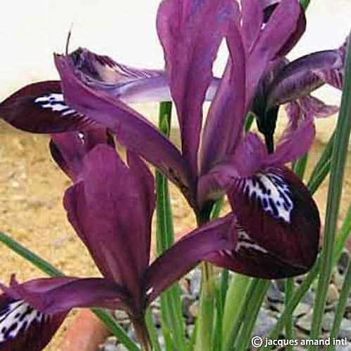 Iris Purple Gem 9cm