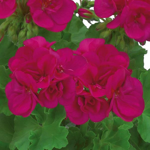 Geranium Designer Dark Purple 14cm