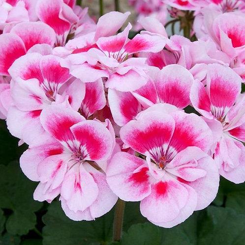 Geranium Fantasia Light Pink Splash 14cm
