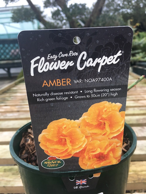 Carpet Rose Amber