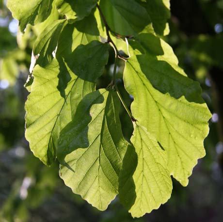 Parrotia persica 12L