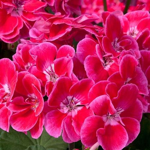 Geranium Fantasia Red Heart 14cm
