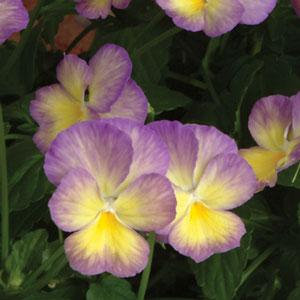 Viola Celestial Starry Night 1.5L