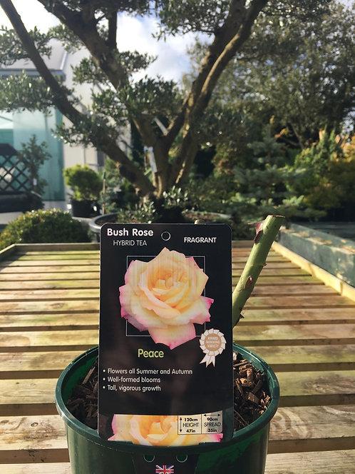 Rose Hybrid Tea 'Peace'