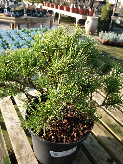 Pinus mugo Carsten 10L