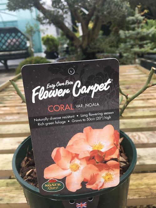 Carpet Rose Coral
