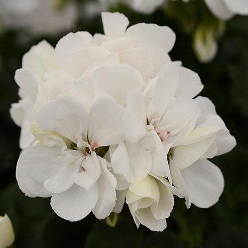 Geranium Fantasia White Improved 14cm