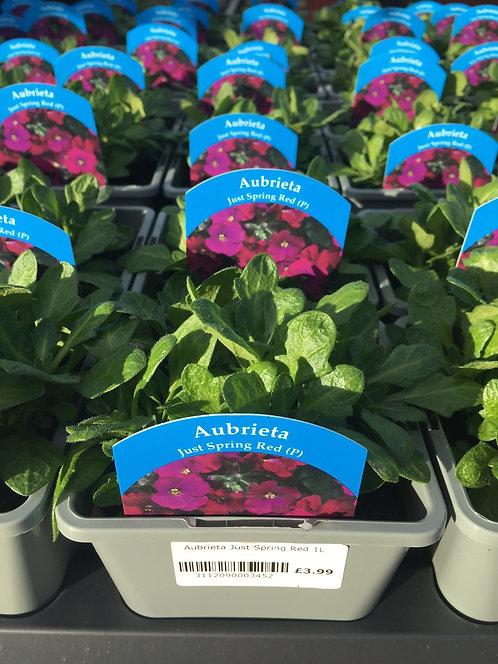 Aubretia Just Spring Red 1L