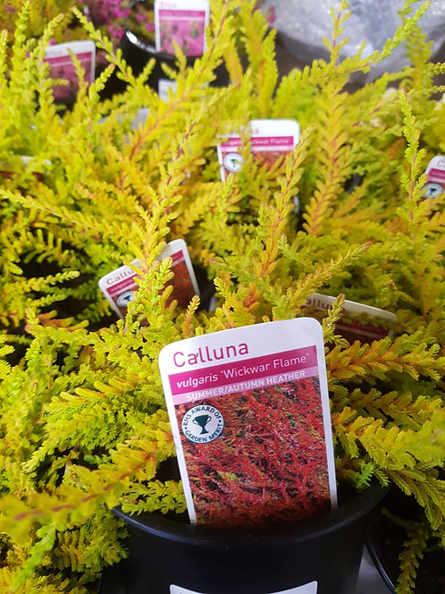 Calluna vulgaris  'Wickwar Flame' 1L