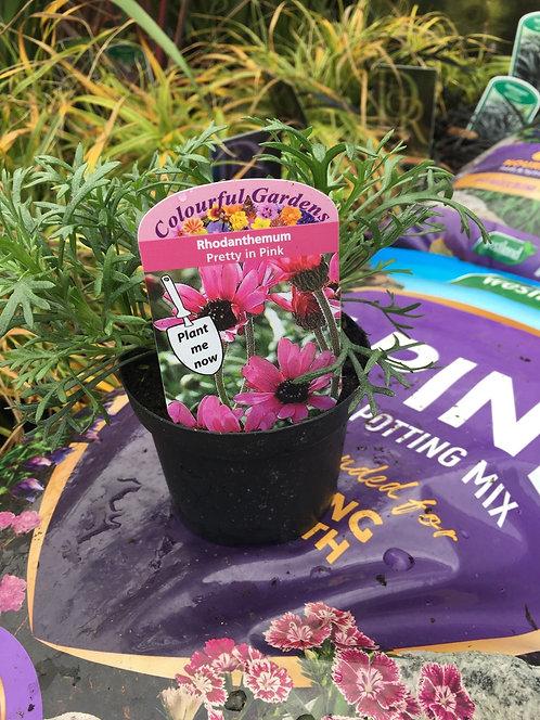 Rhodanthemum 'Pretty In Pink' 9cm