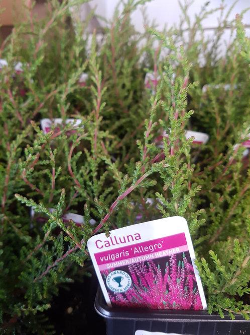 Calluna vulgaris 'Allegro' 9 cm