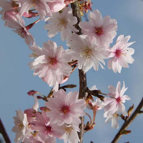 Prunus Autumnalis