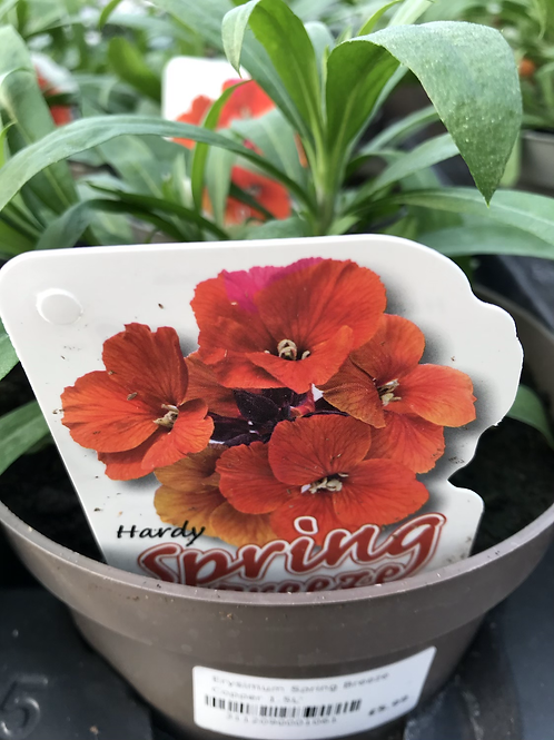 Erysimum Spring Breeze Copper 1.5L
