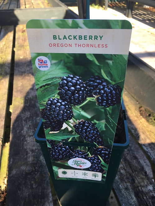 Blackberry Oregon Thornless 3L