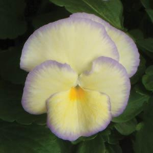Viola cornu Etain 1.5L