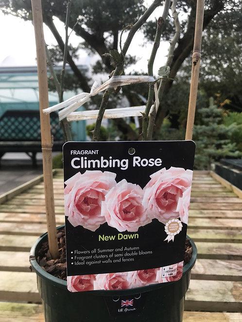 Rose Climbing 'New Dawn'