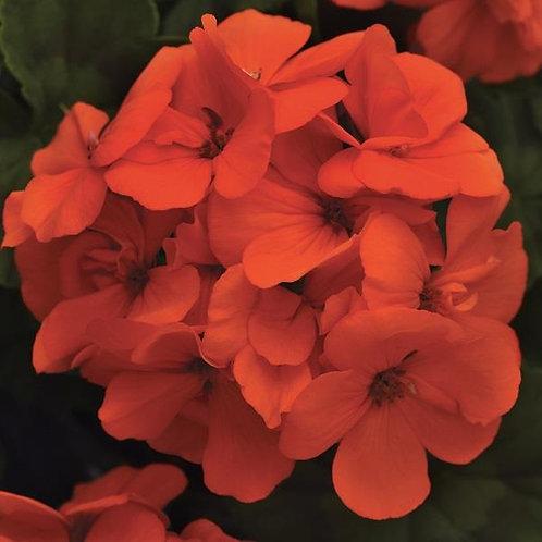 Geranium Fantasia Orange 14cm