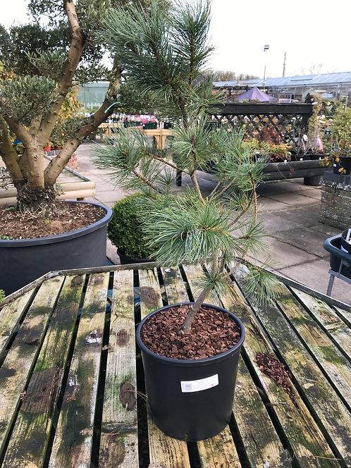 Pinus koraiensis Winton 20L