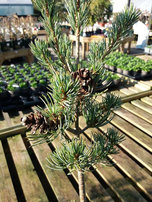 Pinus parviflora Shu-Re 3L