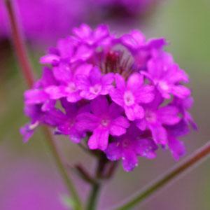 Verbena Santos Purple 1.5L