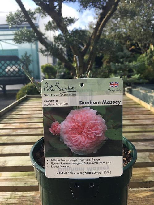 Peter Beales Modern Shrub Rose 'Dunham Massey'