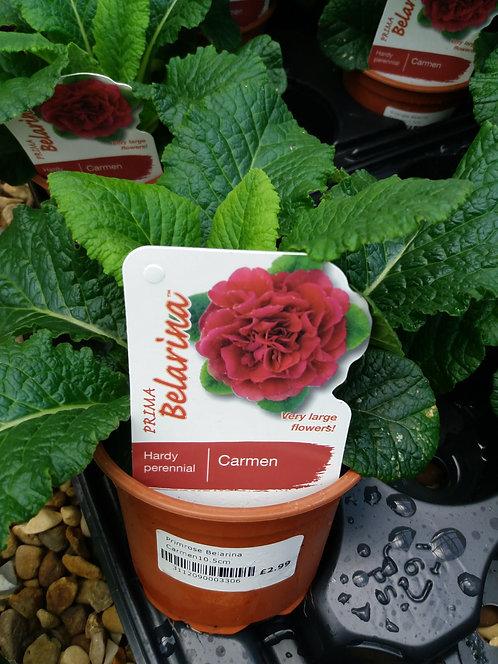 Primrose Double Belarina Carmen 10.5cm