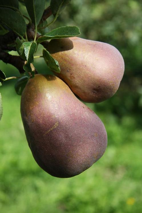 Pear Sensation Bush Quince A 12L
