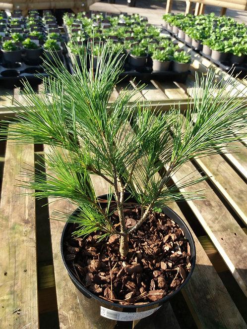 Pinus strobus Pulmila 3L