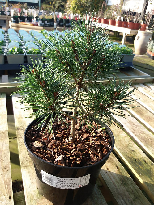 Pinus sylvestris Chantry Blue 3L