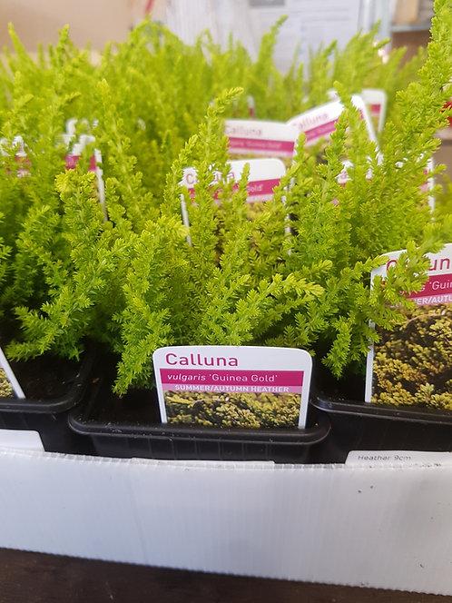 Calluna vulgaris 'Guinea Gold' 9 cm