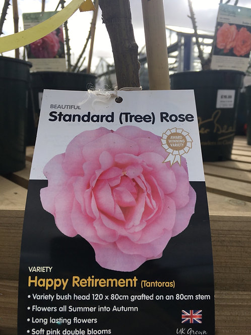 Rose Standard (Tree) 'Happy Retirement'
