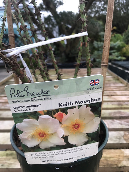 Peter Beales Climbing Rose 'Keith Maughan'