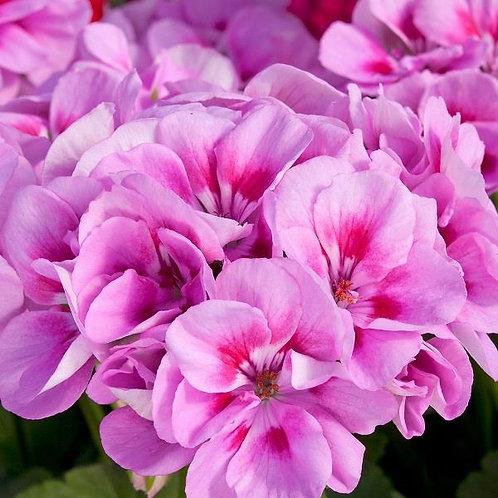 Geranium Designer Pink Splash14cm