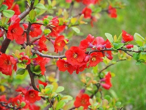 Chaenomeles specious Knaphill Scarlet 3L