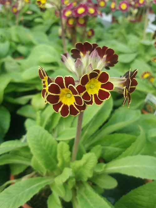 Polyanthus Victoriana Gold Lace 10.5cm
