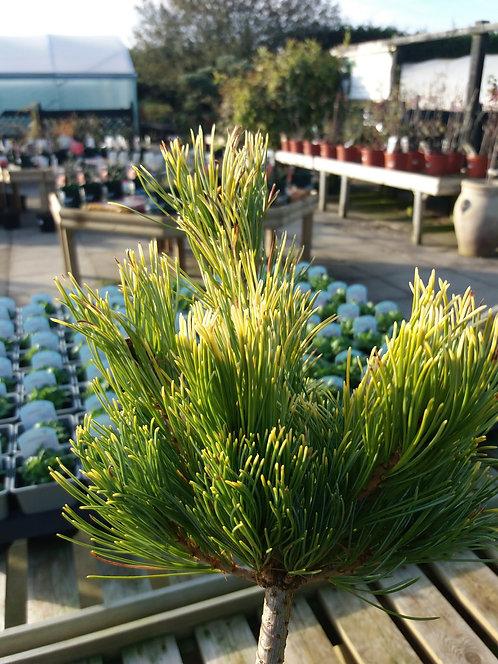 Pinus parviflora Goldilocks 5L