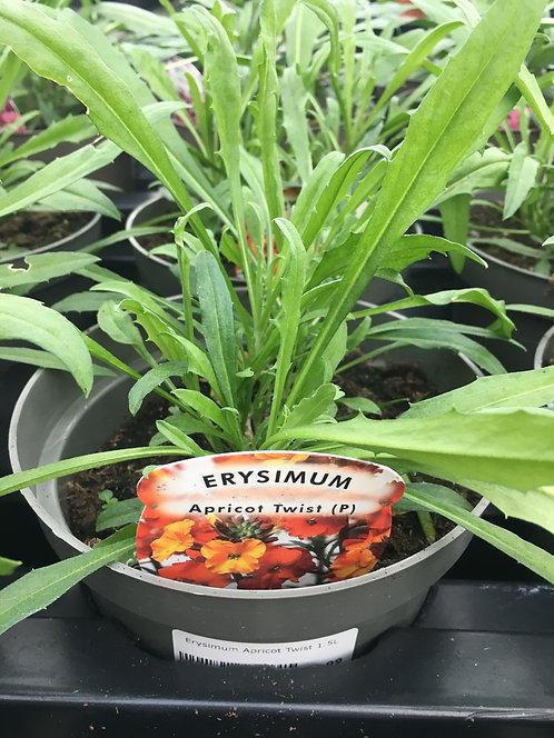 Erysimum Apricot Twist 1.5L