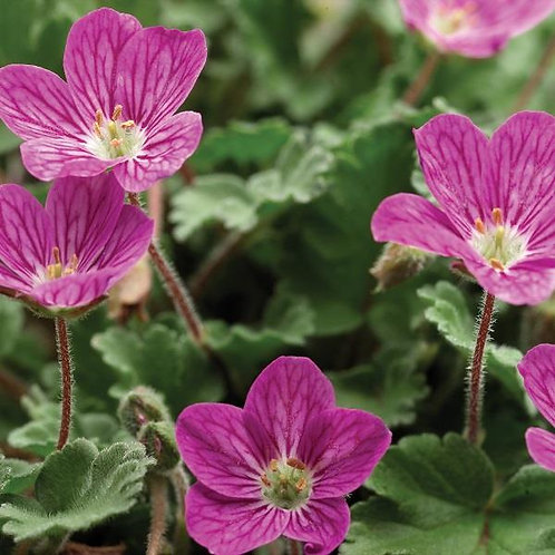 Erodium Bishops Form 1.5L