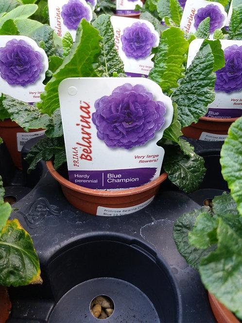 Primrose Double Belarina Blue Champion 10.5cm